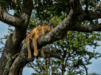 Nap Time In The Serengeti