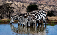 Gathering At The Waterhole
