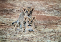"""safari photography"", Lions, ""East Africa wildlife"""