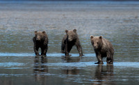 "grizzly, ""brown bears"", wildlife, nature, wilderness"